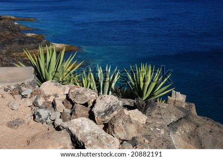 Aloe vera next to the sea - stock photo