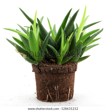 Aloe vera plant isolated on white - stock photo