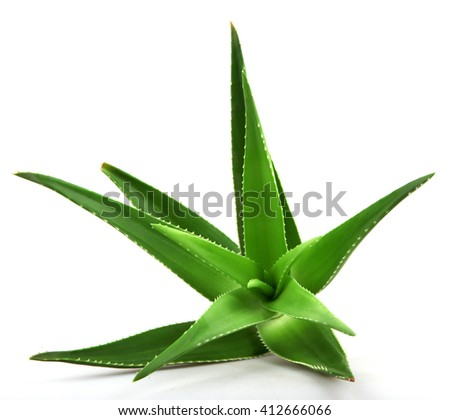 Aloe vera plant isolated on white.