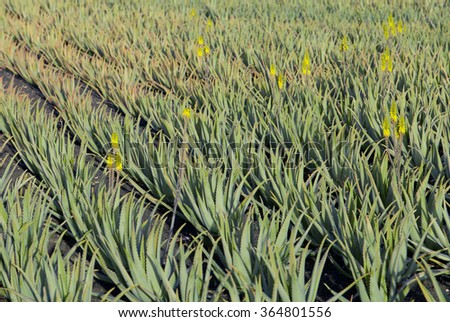 Aloe Vera plants on the field in the north of Lanzarote, Canary islands, Spain.  - stock photo
