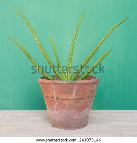 aloe vera potted plant - stock photo