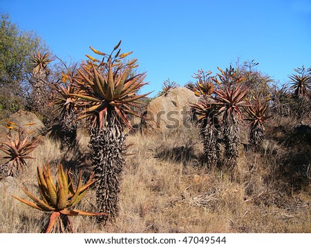 Aloes marlothii in South Africa