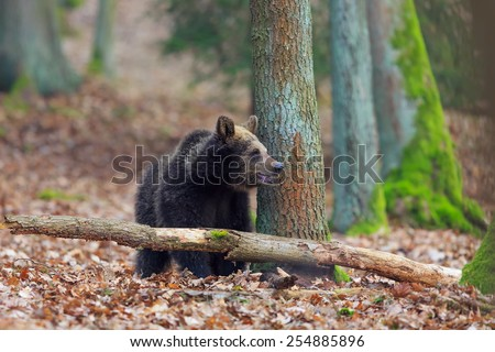 alone brown bear  - stock photo