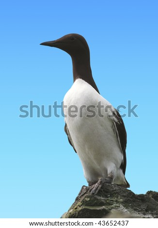 Alone Common Guillemot on cliff in scotland islands