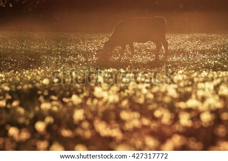 Alone cow grazing on farm spring meadow in beautiful light of spring sunset.  - stock photo