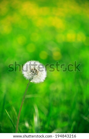 Alone downy dandelion on nice green nature background