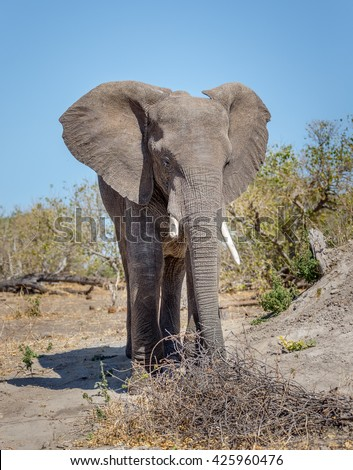 Alone elephant from the vast herds grazing in african savannah in the National Park Chobe - Botswana, , South-West Africa - stock photo