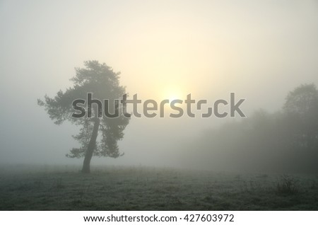 Alone evergreen tree in calm autumn morning with mist and yellow sun
