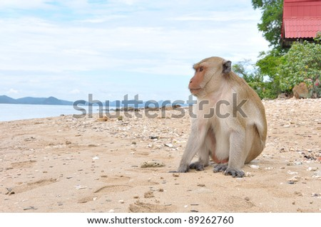 alone monkey on the beach