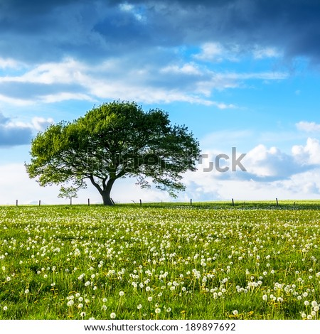 Alone Old oak tree on dandelion meadow with Blue cloudy Sky at summer in the Eifel germany - stock photo