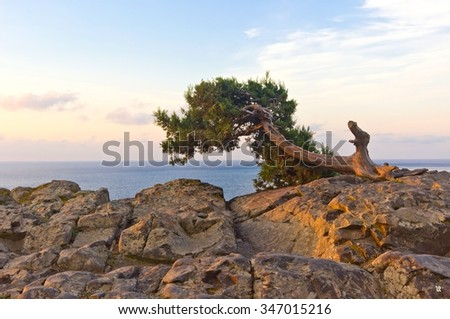 Alone pine tree growing on the top of rock with Black sea background. Beautiful sunrise time