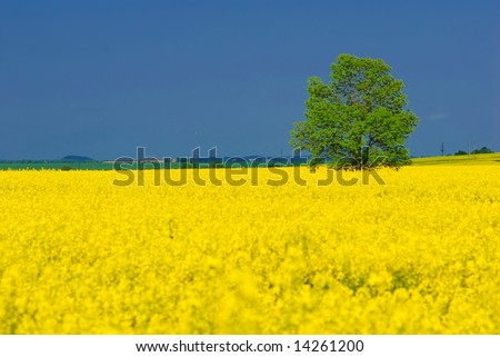 Alone standing green tree, vivid yellow rapeseed field, deep blue summer sky. Horizontal picture
