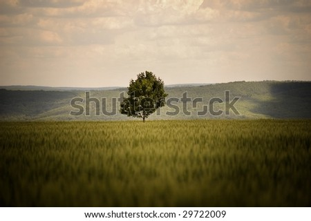 Alone tree in a field of wheat - stock photo