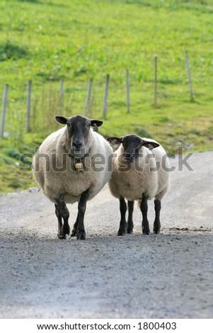 Along came a sheep - stock photo