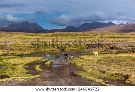 Alpaca and llama on southern Altiplano, Bolivia - stock photo