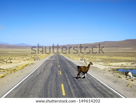Alpaca beside the road in South America - stock photo