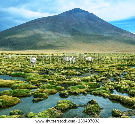 Alpaca family grazing in the desert plateau of the Altiplano, Bolivia - stock photo