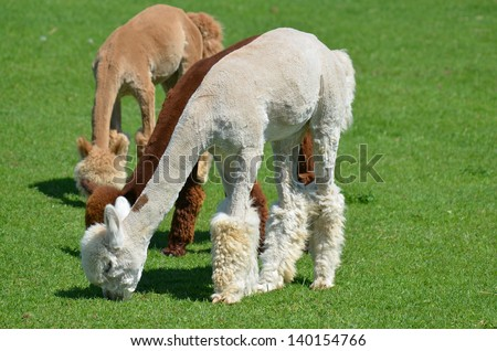 Alpaca is a domesticated species of South American camelid. It resembles a small llama in appearance.Alpacas are kept in herds that graze on the level heights of the Andes of southern Peru - stock photo