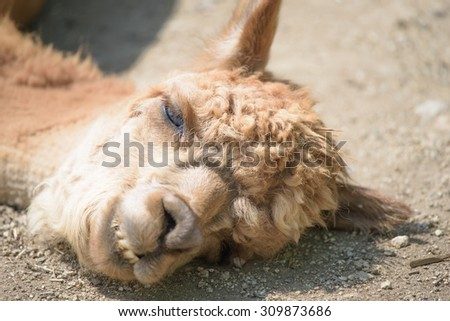alpaca of very stupid sleepy face - stock photo