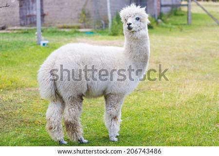 alpaca on farm - stock photo