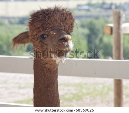 Alpaca portrait - stock photo