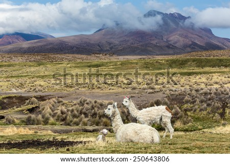 alpaca with baby on southern Altiplano, Bolivia - stock photo