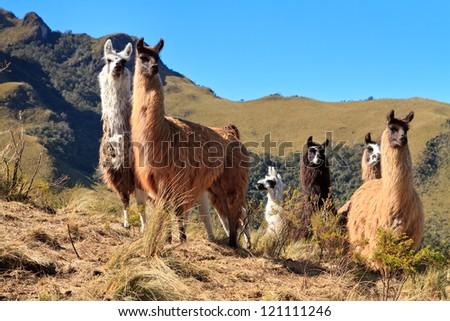 Alpacas at the Pasochoa volcano, Ecuador - stock photo