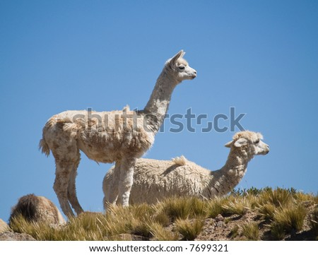 Alpacas pasture on the Andes grassland in Peru - stock photo