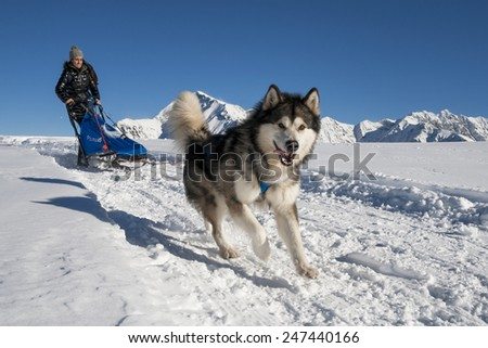 Alpe Giumello  ( Italy ) 01/24/2015: in the Italian alps in january there was the 11th meeting of the Alaskan Malamue breed where people from allover Europe come to show theyr dogs - stock photo