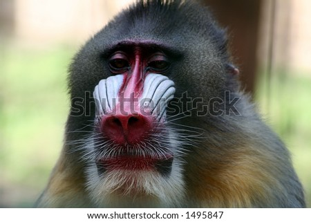 Alpha male baboon at the Oliwa zoo in Gdansk, Poland - stock photo