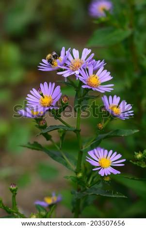 Alpine aster (Aster alpinus) - stock photo