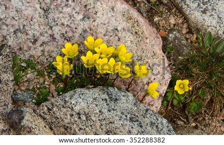 alpine avens wildflowers seen while hiking  up mount evans, colorado - stock photo