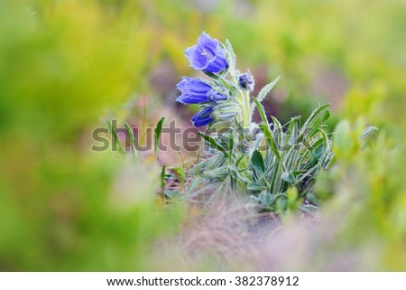 Alpine Bellflower (Campanula alpina) blooming on the slopes of Carpathian mountains.  - stock photo