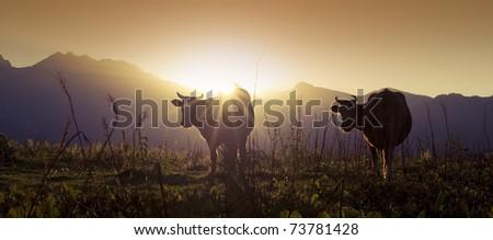 Alpine bulls and cows - stock photo