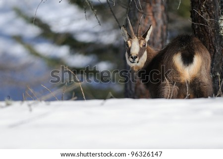 alpine chamois (Rupicapra rupicapra). Face and butt