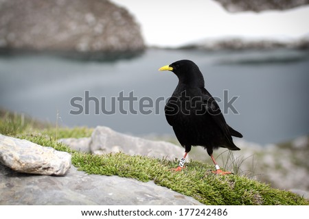 Alpine Chough (Pyrrhocorax graculus) also known as Yellow-billed Chough, with Alpine scenery background. - stock photo