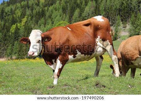 Alpine cow grazing in the Austrian Alps - stock photo