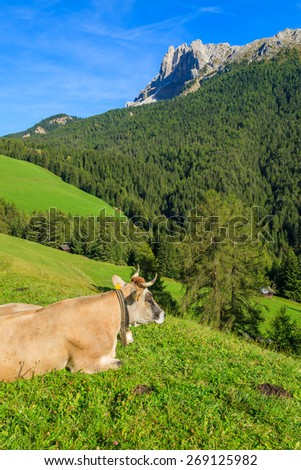 Alpine cow grazing on green field in Val di Funes, Dolomites Mountains, Italy - stock photo