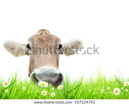 Alpine cow in meadow, isolated on white background - stock photo