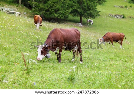 Alpine cow with bell grazing on the hill - stock photo