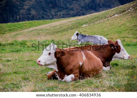 Alpine cows lying in a green meadow on a mountain pasture. Theme of ecology, agriculture, farming, Earth Day. - stock photo