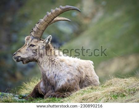 Alpine Ibex (Capra ibex), Gran Paradiso National Park, Italy - stock photo