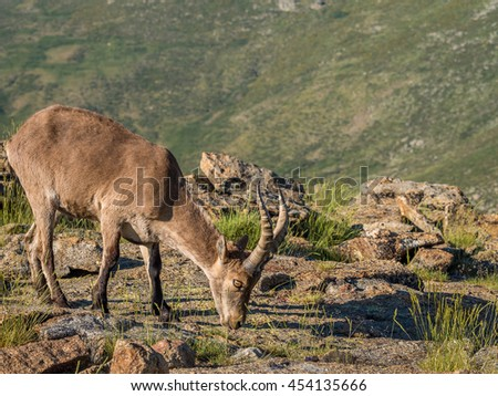 Alpine ibex (Capra pyrenaica) on the summit of the mountain in Sierra de Gredos mountain range (Spain)