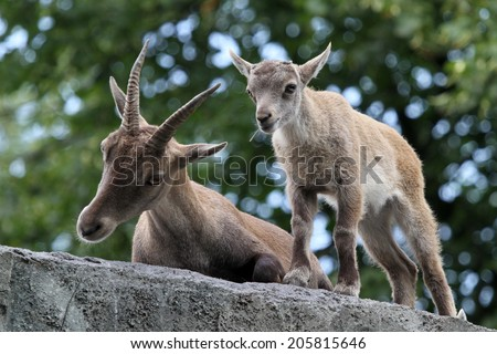 Alpine Ibex mother and child