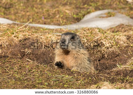 alpine marmot digging burrow