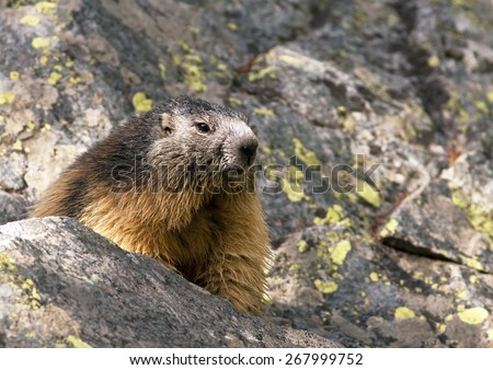 Alpine marmot in the Alpines - stock photo