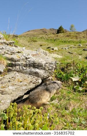 alpine marmot (Marmota marmota) in its natural habitat - stock photo