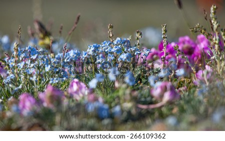 Alpine meadow in the summer. Forget-me-not flowers and other - stock photo