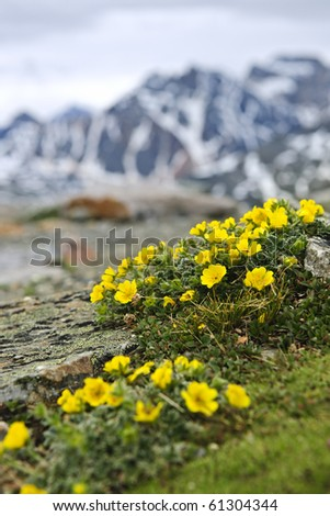 Alpine meadow with potentilla flowers blooming on Whistlers mountain in Jasper National Park, Canada - stock photo
