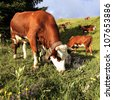 alpine mountain cows eating flowers in France in spring - stock photo